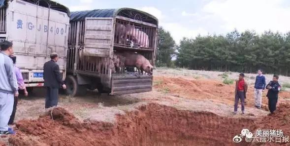云南去贵州 途经盘州非法贩运的66头生猪被查已无害化处理