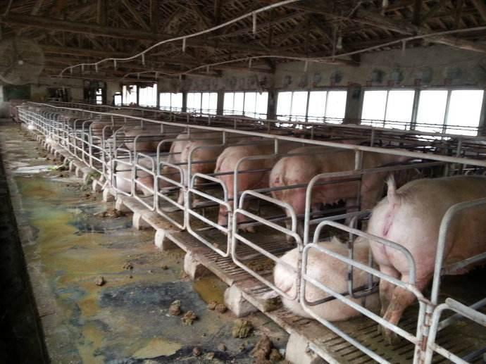 养猪场污水影响村民生活 猪场被勒令现存生猪出栏后立即关停