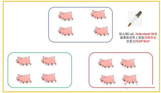 非瘟感染后存活下来的猪会长期带毒吗?德国专家给出研究结论