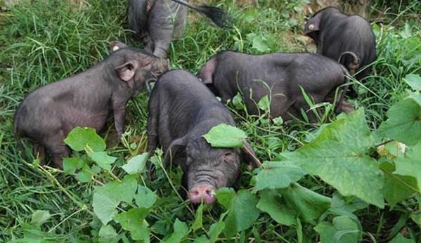 一场变故,让她从养猪新人蜕变成当地养猪致富带头人
