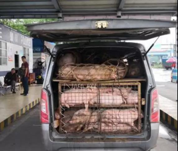 车内散发恶臭露馅,广东运往湖南的一辆装满61头生猪的面包车被查获