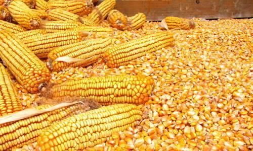 中储粮网内蒙古玉米成交大降 国内玉米价格不会无限制大涨