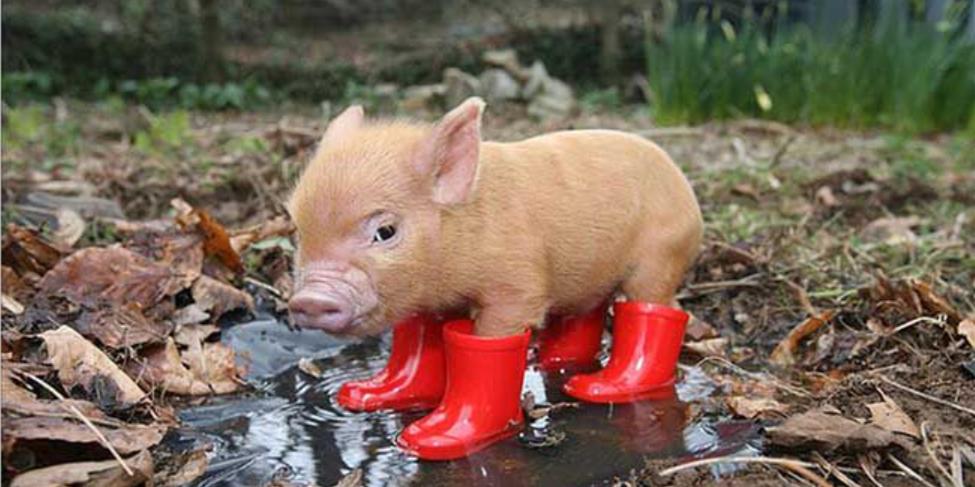 缺猪已成事实!受多重因素影响,猪价上涨依然乏力!