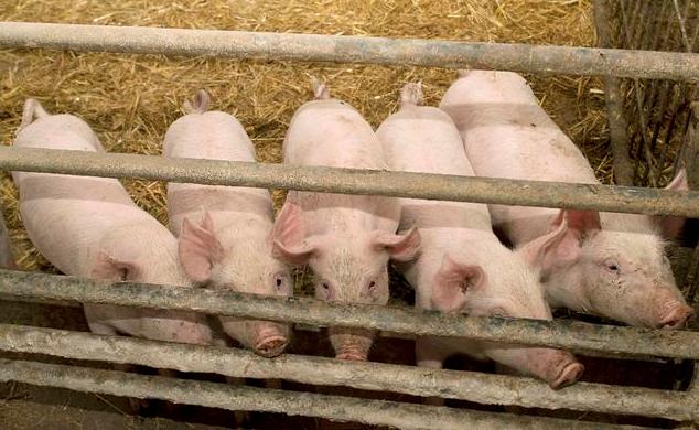 夏季生猪养殖技术 这样养猪不掉膘