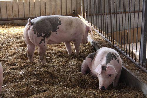 2019年06月01日全国各省生猪价格外三元价格报价表