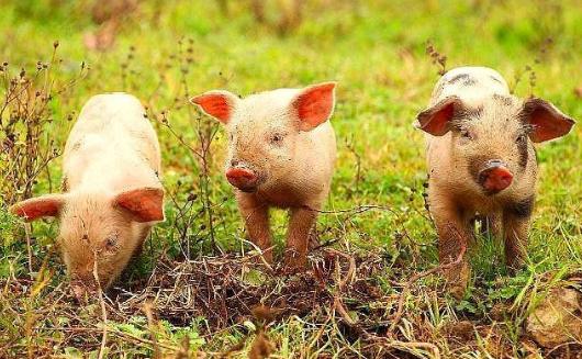 近期猪价连续走高 有望持续达到年后猪价新高