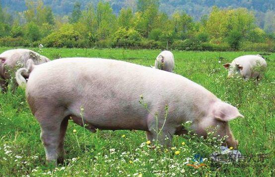 2019年06月02日全国各省生猪价格土杂猪价格报价表