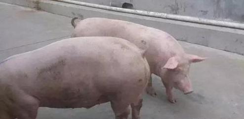 2019年06月02日全国各省生猪价格内三元价格报价表
