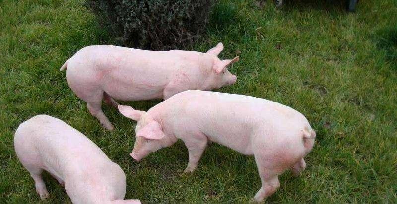 2019年06月02日全国各省生猪价格外三元价格报价表