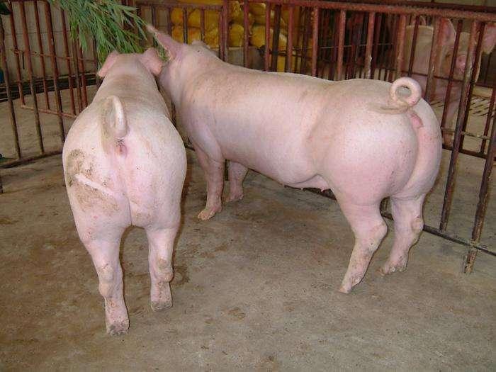 2019年6月2日仔猪价格:20公斤仔猪价格行情走势