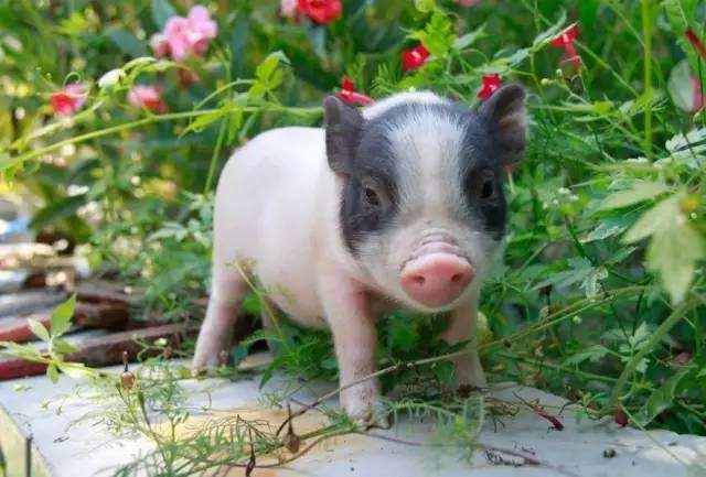 湖南全省实施优质湘猪工程 促进生猪产业提质