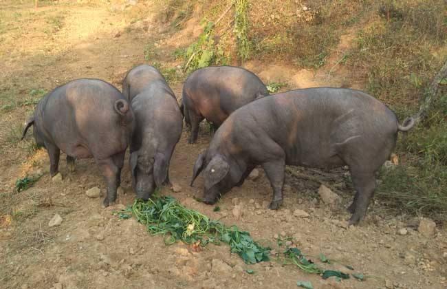 为预防自家猪拉肚子 阜宁一农户种了528棵罂粟