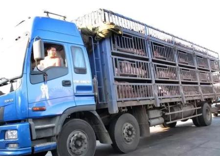非法运猪就是在传播非洲猪瘟病毒 为一己私利置养猪户万劫不复之地