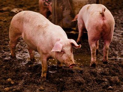 """越南养猪业陷入""""黑洞"""" 已有多个国家禁止越南猪肉"""