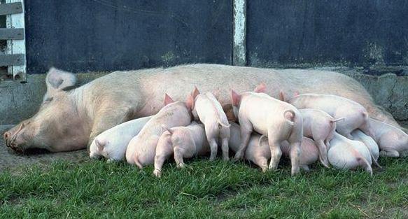 猪场排污致渔业公司大量死鱼 被判赔偿186万元