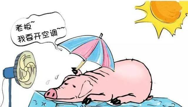 夏天是否要给猪泼冷水?猪场要怎么降温呢?