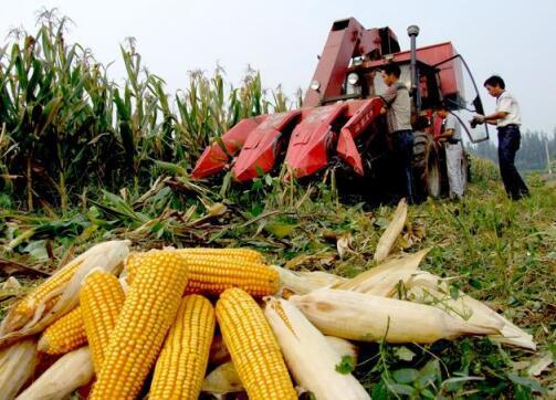 玉米调研:黑龙江玉米面积减少10%~15%,吉林相对稳定