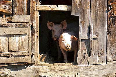 越南非洲猪瘟最新消息:已蔓延至52省市 扑杀生猪超过216万头