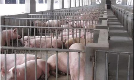最新消息!刚刚公布:非洲猪瘟盛行!预防非洲猪瘟有了新方法!