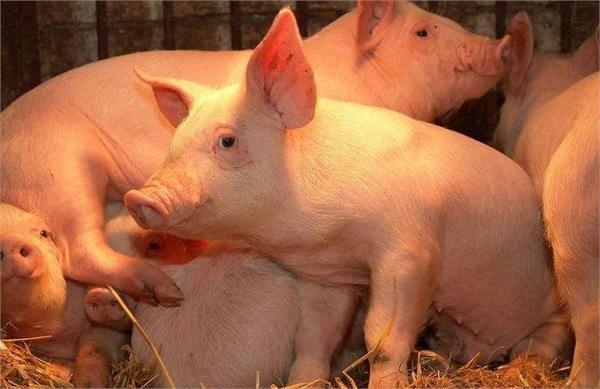 浙江台州:饲料价格疯涨生猪价格跌跌不休 生猪养殖成本居高不下