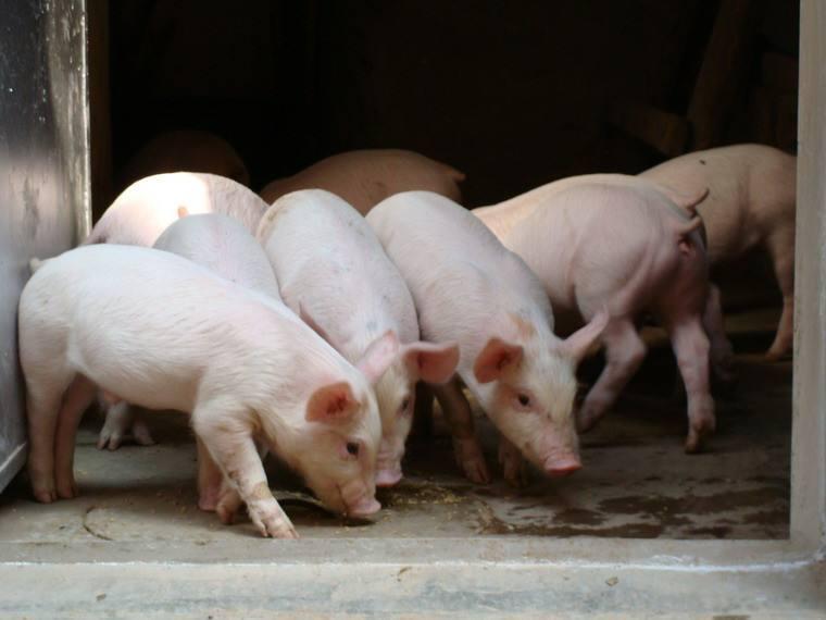 山西晋城生猪生产形势严峻 生猪养殖户信心不足