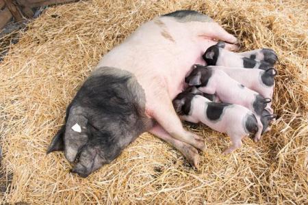 高温对猪竟然有这么大的伤害?降温就是挣钱