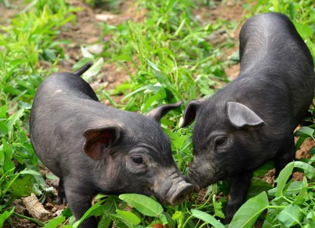 重庆綦江药剂师邓国勇转行养猪 一斤猪肉卖百元