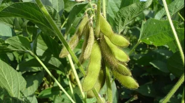 豆粕化学成分及营养价值的差异性