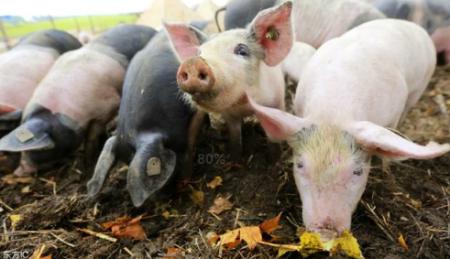 国家鼓励和支持对猪场贷款,只因猪少,料更少!