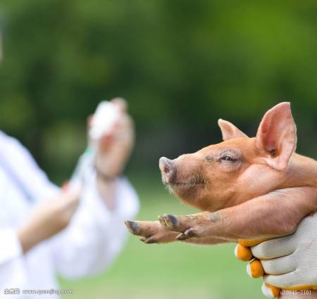 养猪人花钱买好的疫苗,如何让它发挥出好的效果?