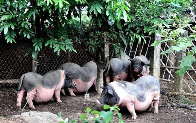 猪粮、仔猪持续上涨?养猪人如何降低养殖成本?专家:试试这3招