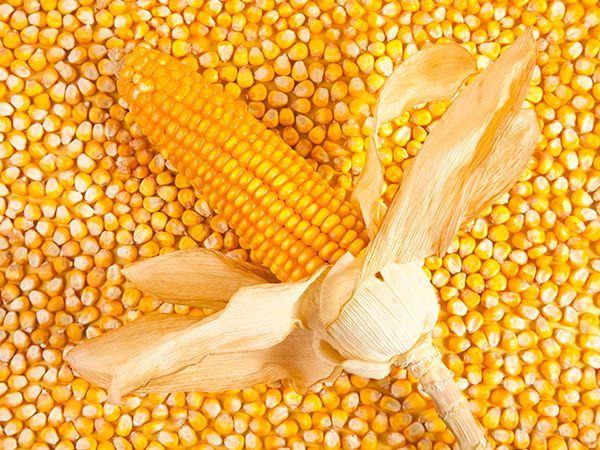 临储玉米整体成交情况尚可 为何价格上涨势头却不大
