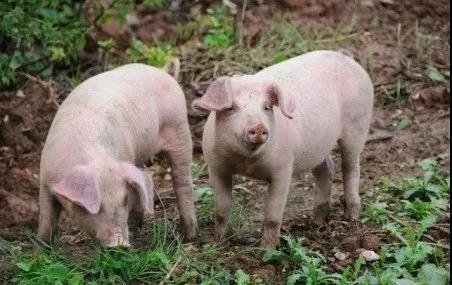 广西生猪存栏量已达10年来最低水平,猪价却依然较低