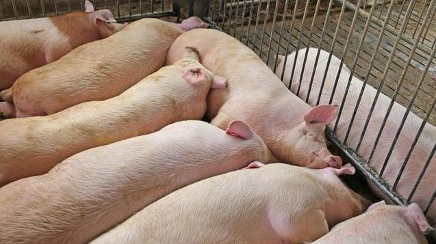 养猪发家新思路,有养猪人靠它,一个月赚了25万,怎么做到的?