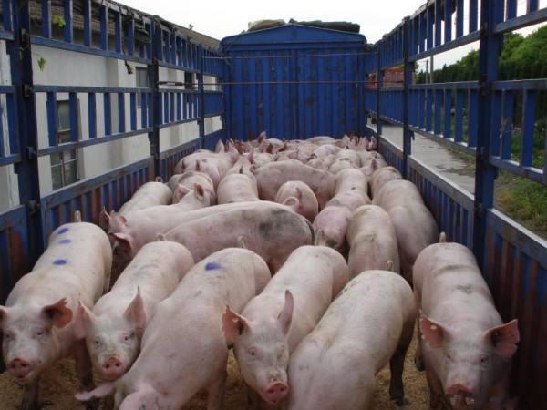 养猪人请注意:这几天猪价又开始跌了,知道是为什么?