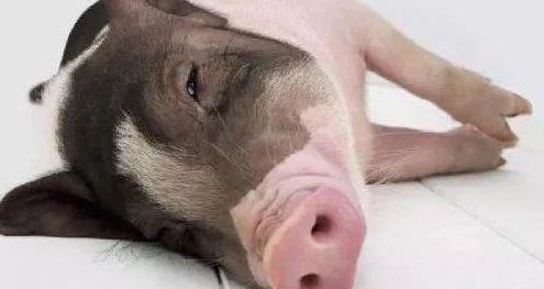 养猪朋友被这几条假技术忽悠了这么多年 小心得不偿失