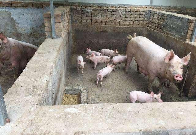 四川第23周生猪价格监测:出栏一头肥猪赚190元~400元
