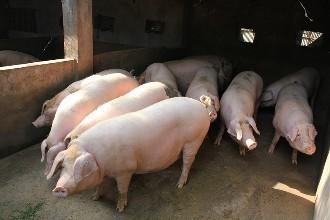 猪肉销量下降30%以上!防控信心、猪周期、消费习惯左右未来猪市