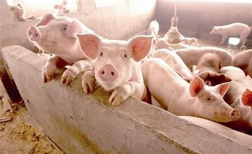 受出栏增加及屠企压价影响 淄博博山生猪价格小幅下跌