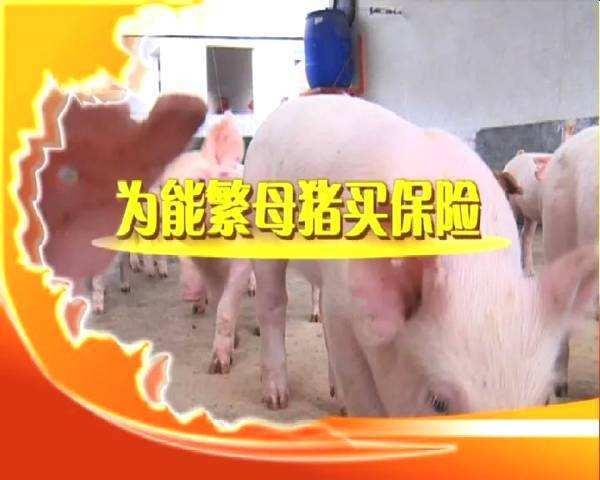 青海海东市平安区完成全区能繁母猪保险工作