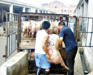 广西武宣:收购未经检疫生猪 猪贩被罚4万元