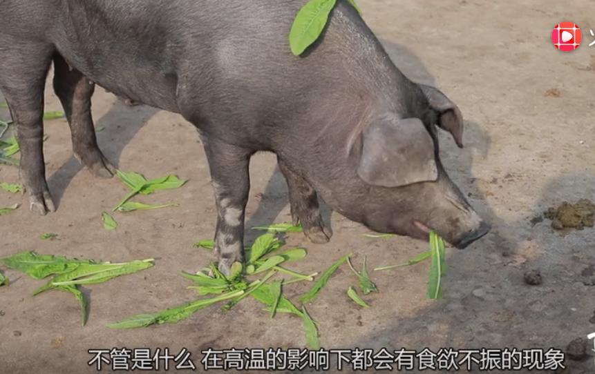 夏季温度高,猪不能正常生长怎么办?这4点做到位,头头长的肥壮