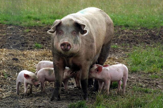 这种草全国都有,母猪产后喂一点,发情及时产仔高,值得学习