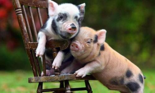湛江茂名收猪价暴涨 最高一周骤升20%