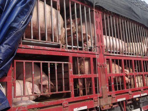 南宁上林县发布对生猪及其产品进行严格监管的通告