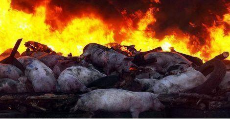 朝鲜首次对内公布非洲猪瘟疫情 全境开展非洲猪瘟防疫工作