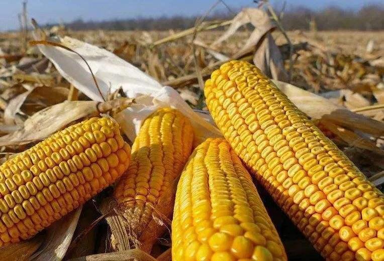 临储玉米四拍已经降温 但供需预涨后市