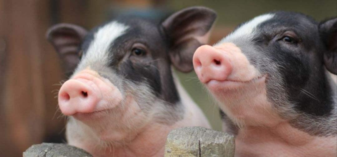 农业农村部:生猪存栏降幅加速,同比减少22.9%!