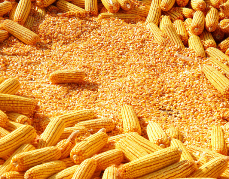 2019年06月14日全国各省玉米价格及行情走势报价表