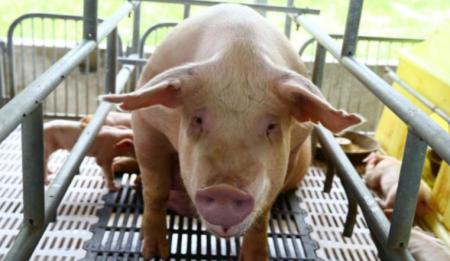 猪低温症时不时在养猪场都会遇到,谈谈我对妊娠母猪低温症的处理
